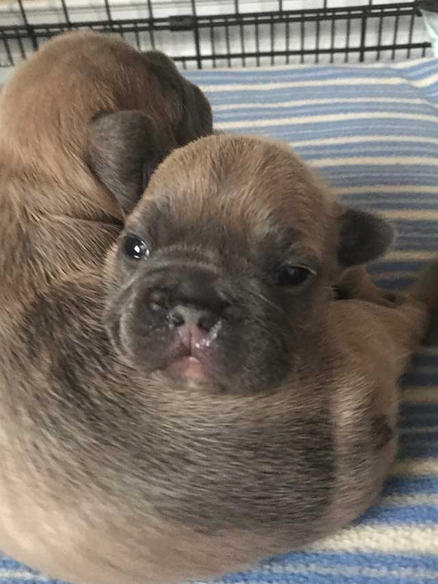 2-puppy-frenchies