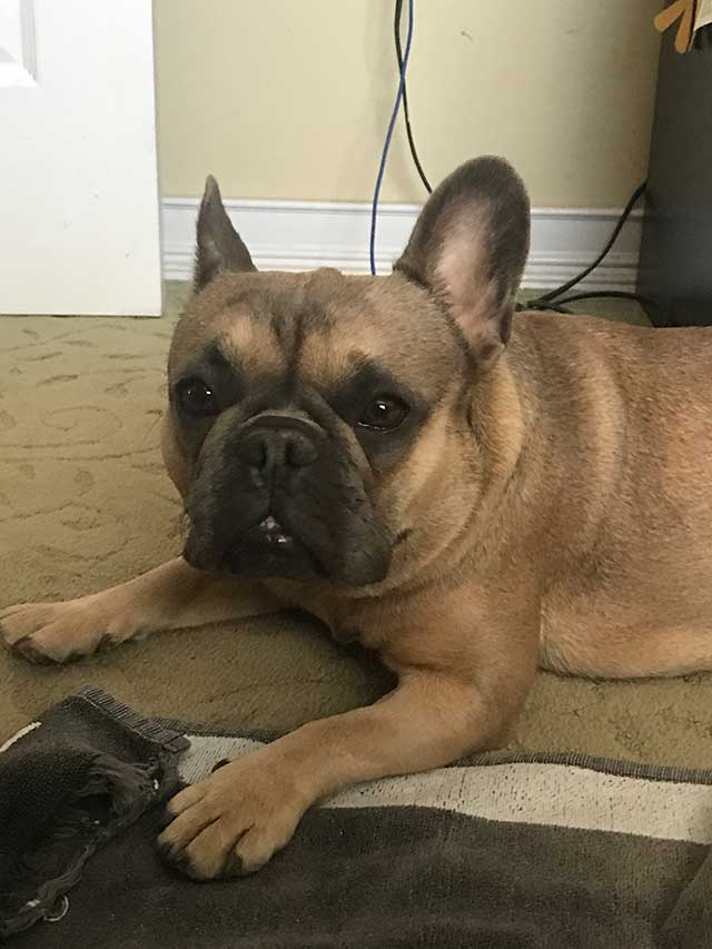 Luna-Frenchie