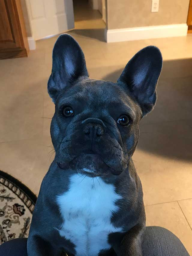 Mimi-lilac-twin-french-bulldog