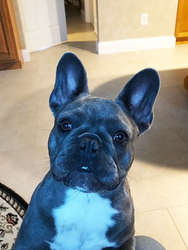 French Bulldog Mimi