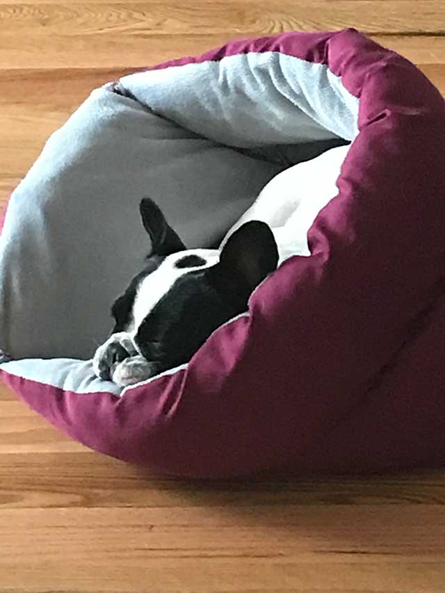 Munchin-Frenchie-sleeping
