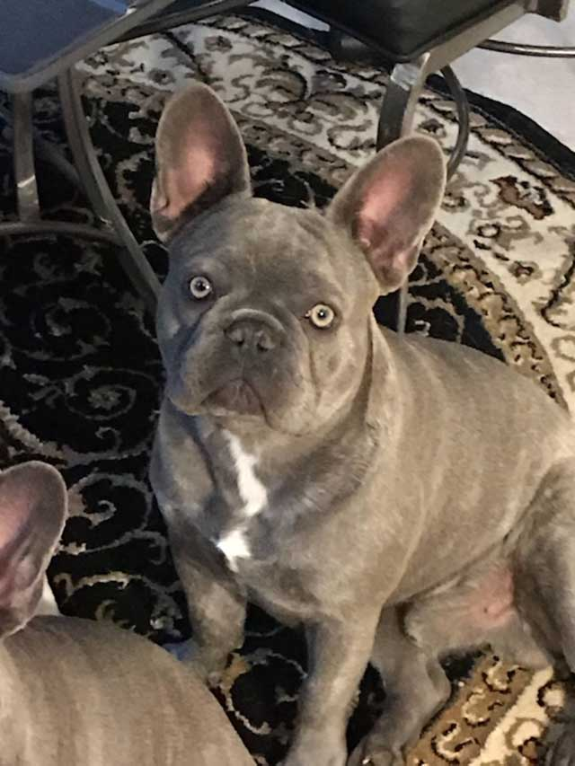 Mimi-french-bulldog-lilac-twin-closeup