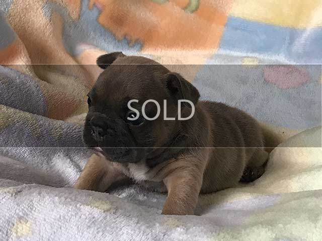 Luna's puppy 2 Blue Sable with Melanistic Mask Female