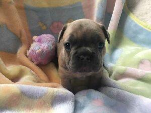 Luna's-female-puppy-3