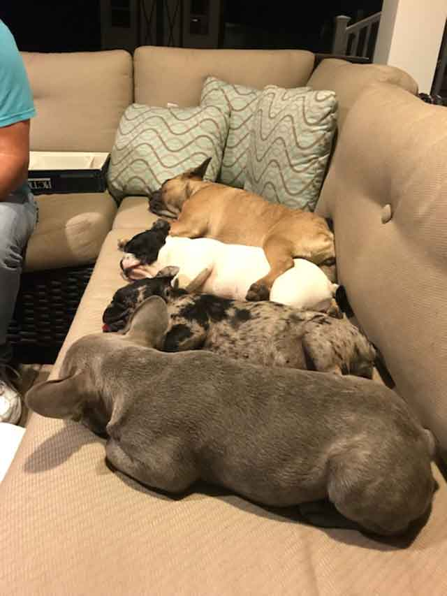 Michelles-four-Frenchies-sleeping-in-a-row