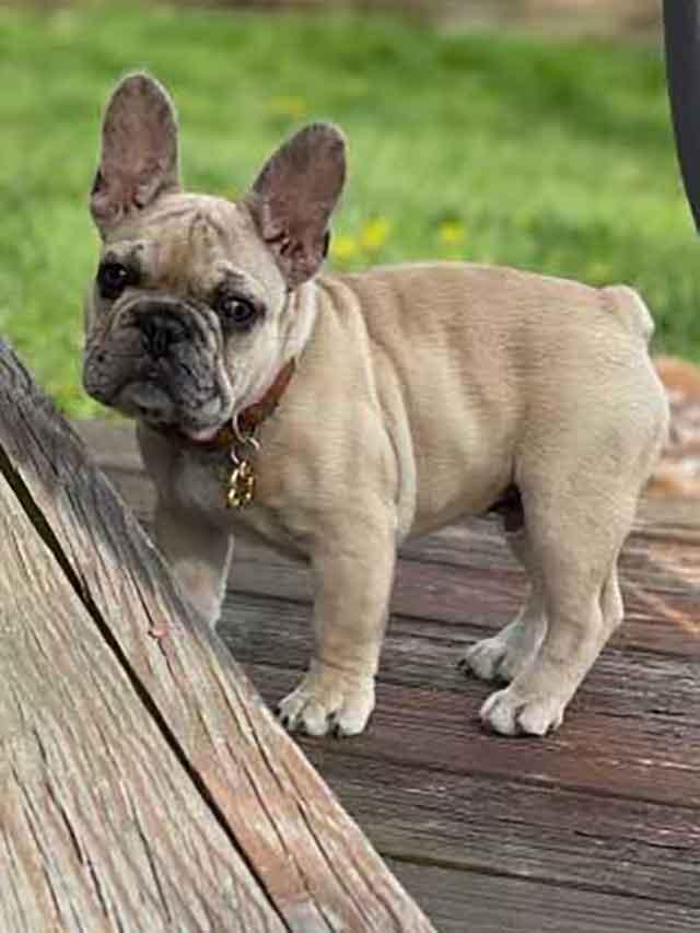Abby-&-Deizel-puppy-DOB-1-25-21