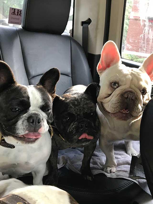 French-bulldogs-in-car