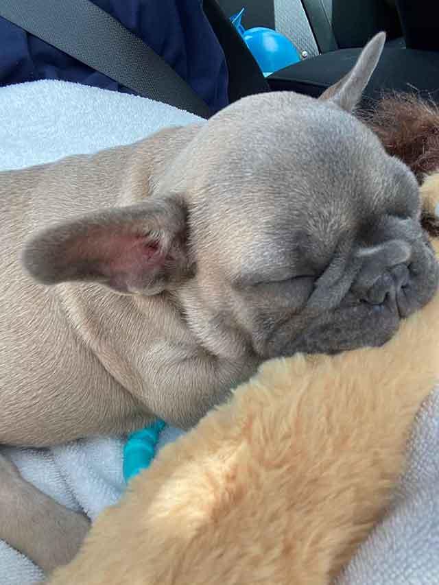 Luna-&-Diezel-3-1-21-puppy-3-Phoebe-sable-female