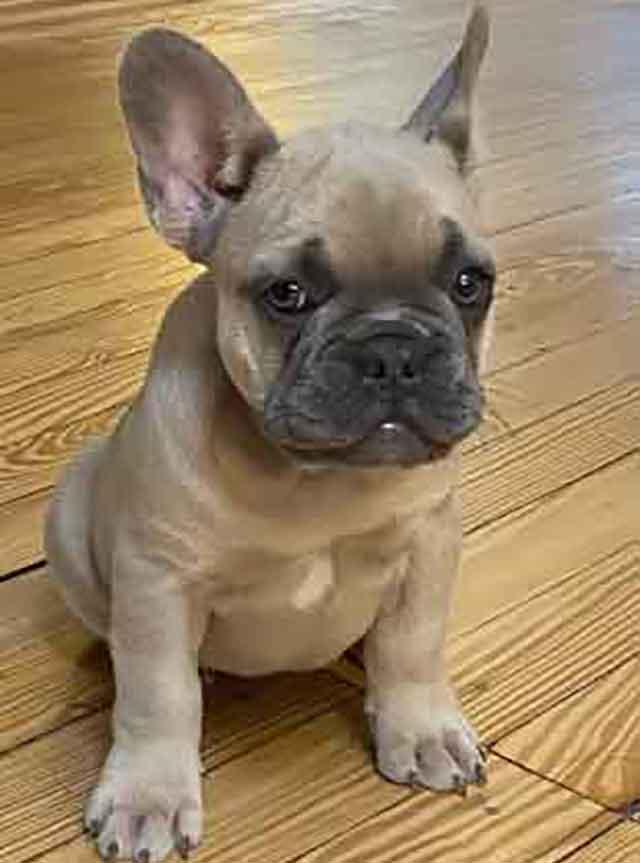 Luna-&-Diezel-puppy1-DOB-3-1-21-female-lilac-fawn
