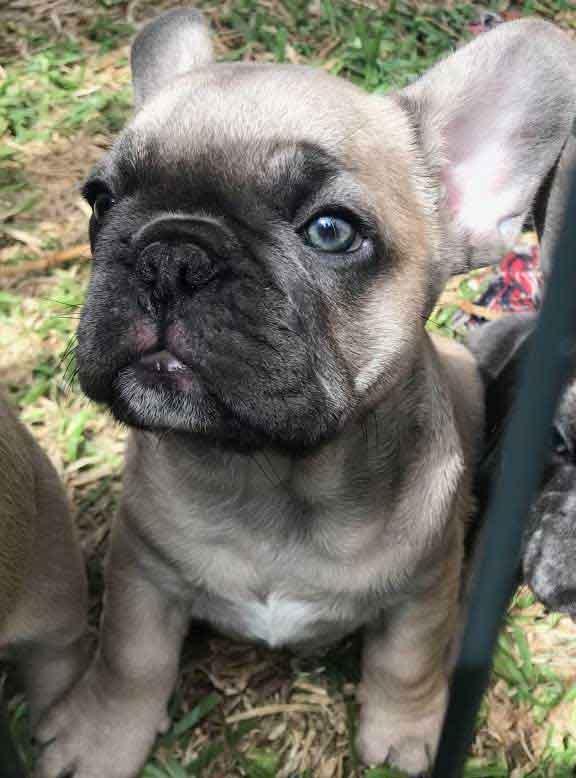 Luna-&-Diezel-puppy5-DOB-3-1-21-male-blue-sable