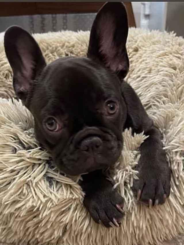 Munchkin-Nautico-litter-1-12-21-puppy-chocolate-brindle-female