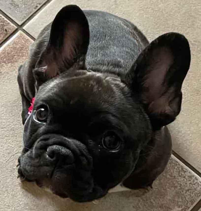 Munchkin-Nautico-litter-1-12-21-puppy4-chocolate-brindle-female (2)