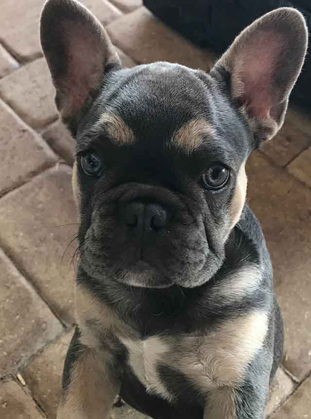 michelles-frenchies-tulip-Luna-&-Diezel-3-1-21-female-blue-and-tan